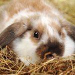 Soñar con conejos