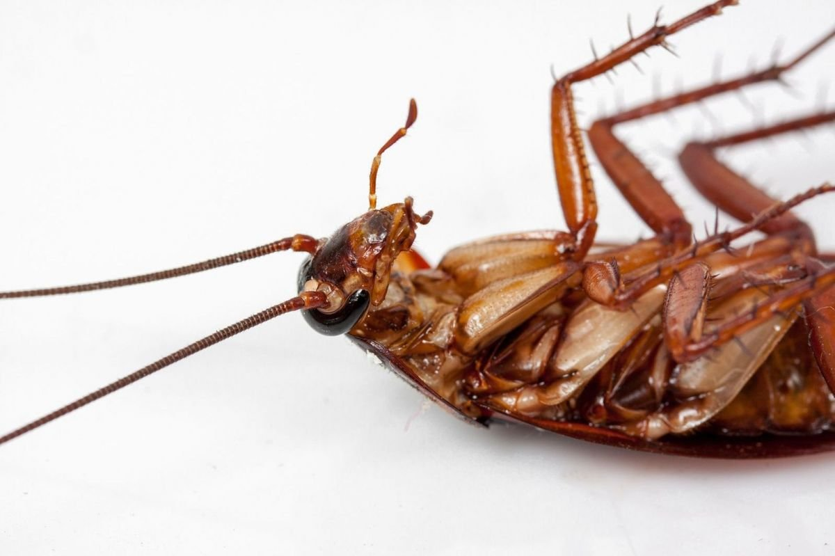 Cucarachas muertas