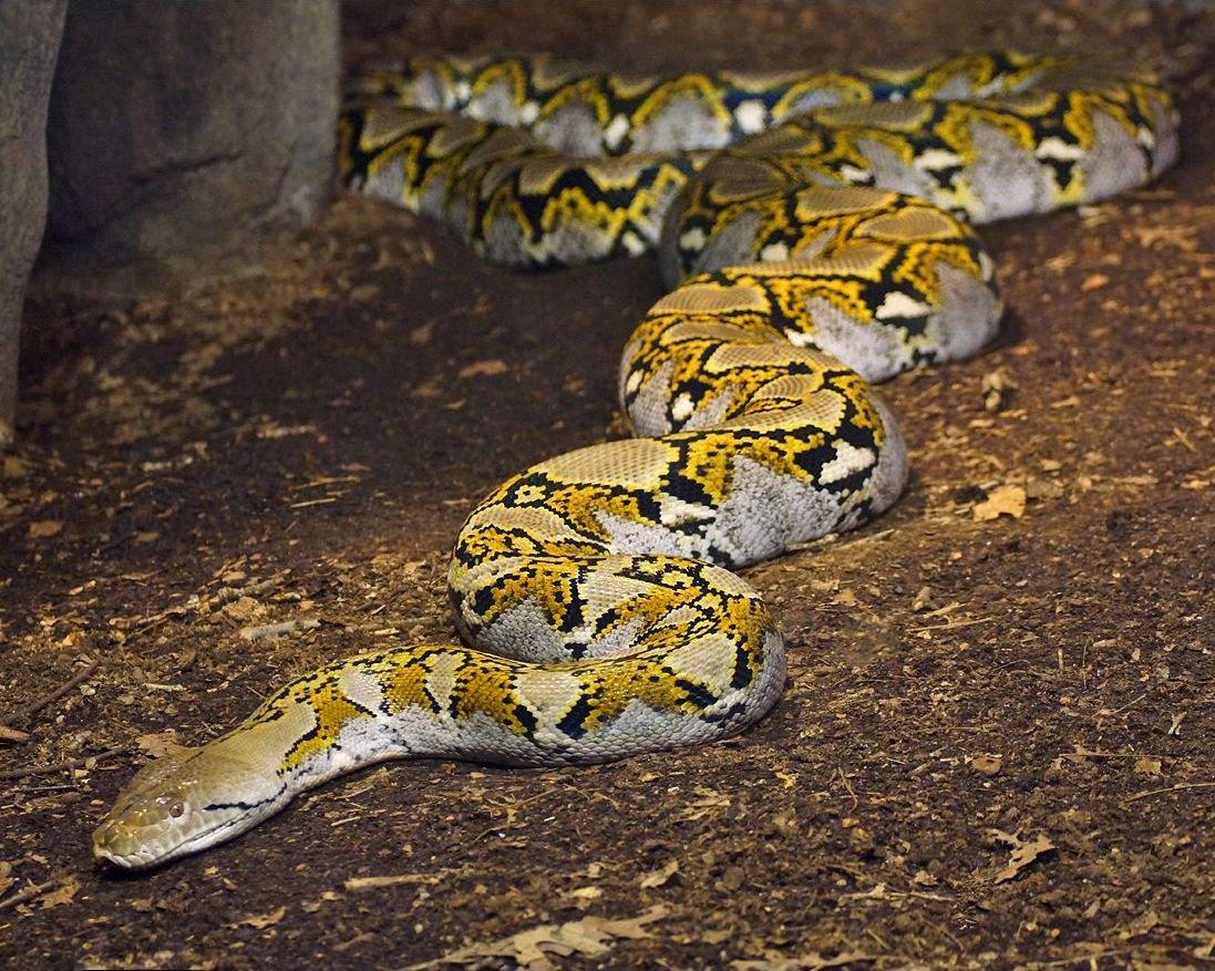 Qué significa soñar con serpientes grandes