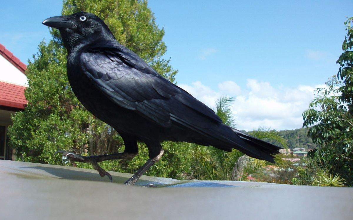 Soñar con pájaros negros